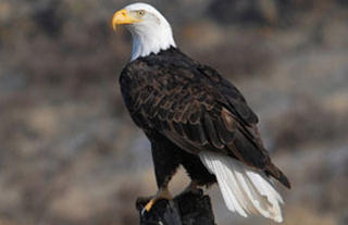 Adult Bald Eagle © US Fish and Wildlife