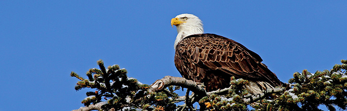 Bald eagle adult © David Larson, Mass Audubon