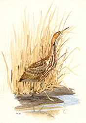 American bittern illustration