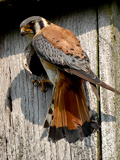 American kestrel © Mark Thorne