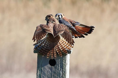 American Kestrel pair on a nest box © Paul McCarthy