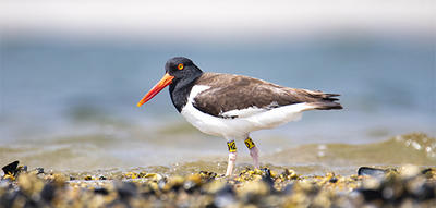 American Oystercatcher on shoreline © Paulina Zuckerman