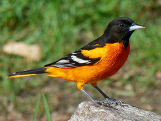 about baltimore orioles