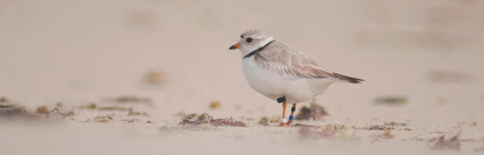 Banded Plover at Barneys Joy Beach, South Dartmouth