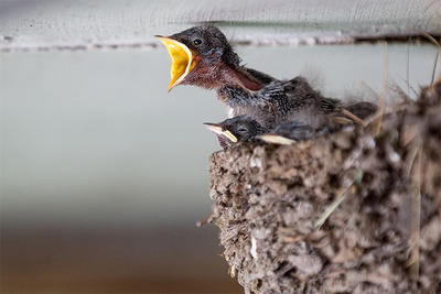 Barn Swallow nestlings © Alex Shure