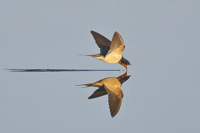 Barn Swallow skimming water © Ken Lee
