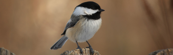 black-capped chickadee © Jake LaSuer
