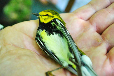 Black-throated Green Warbler that died from a window collision