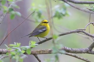 Blue-winged Warbler © Devin Griffiths