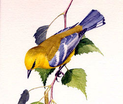 blue winged warbler illustration