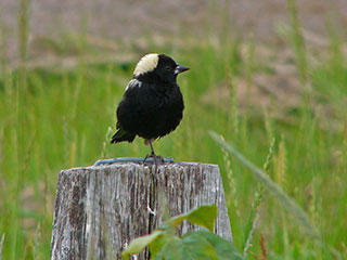 Bobolink © Richard Johnson