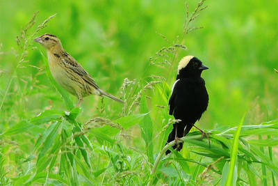Bobolinks at Arcadia © Dave McLain