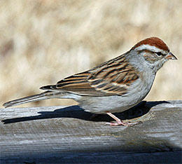 chipping sparrow © Dick Daniels Wikimedia