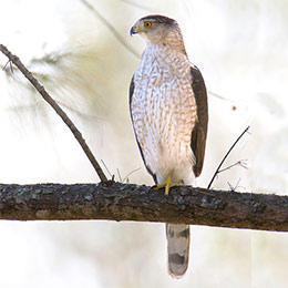 Cooper's hawk adult © William H. Majoros, Wikimedia