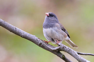 Dark-eyed junco © Devin Griffiths