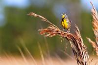 Eastern Meadowlark on grass stalk © Shawn Carey