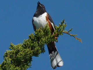 Eastern Towhee (Photo: Roger Wrubel)