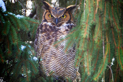 Great Horned Owl perched among evergreen branches in winter © John Grant