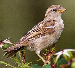house sparrow female © Pheanix, Wikimedia
