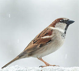 House sparrow male © Luc Viatour, Wikimedia