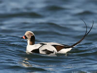 Long-tailed duck © Wolfgang Wander, Wikimedia
