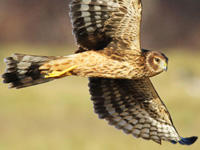 Northern Harrier at Daniel Webster © Doug Wauchope