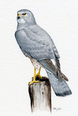 northern harrier illustration
