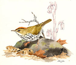 Ovenbird illustration