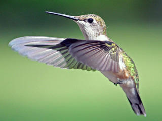 Ruby-throated Hummingbird © Linda Lapre