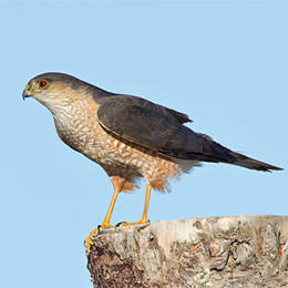 Sharp-shinned hawk adult © Shawn P. Carey (Migration Productions)