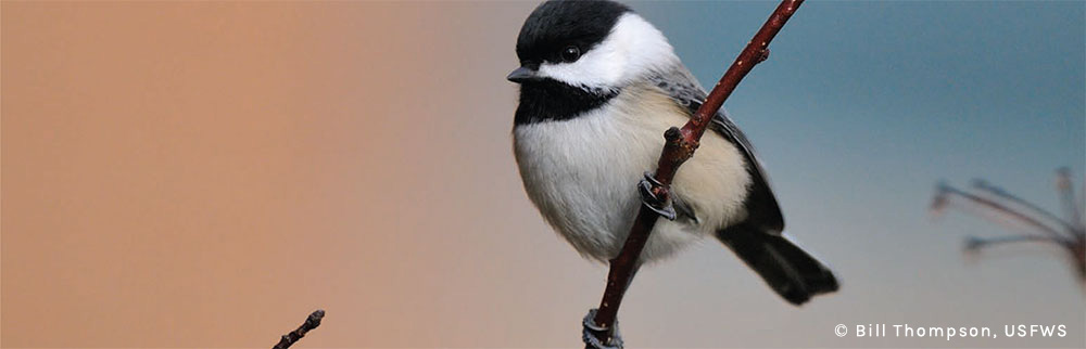 Black-capped chickadee © Bill Thompson, USFWS