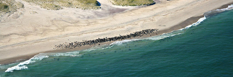 Aerial view of seal colony © Karl Swenson