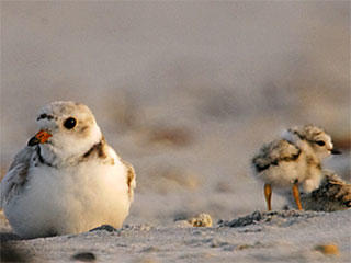 Piping plover with chicks © John Van de Graaff