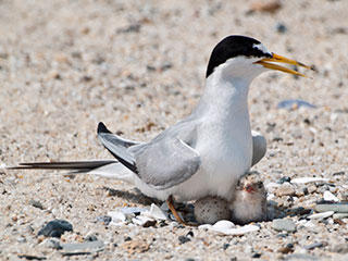 Roseate tern with chicks © Jean Hubble