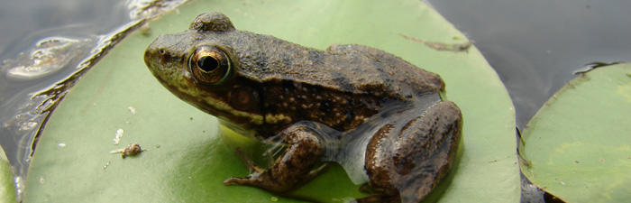 When some amphibians mature they live on land because