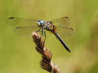 Blue dasher dragonfly © Joy Marzolf, Mass Audubon
