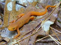 Eastern newt at Graves Farm © A.C. Brown