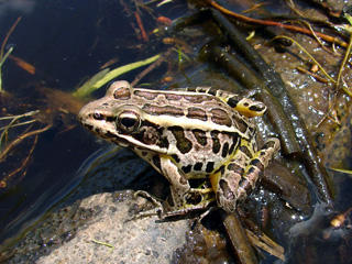 Pickerel frog, Lithobates palustris