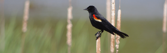 Red-winged blackbird © Eric Hayward