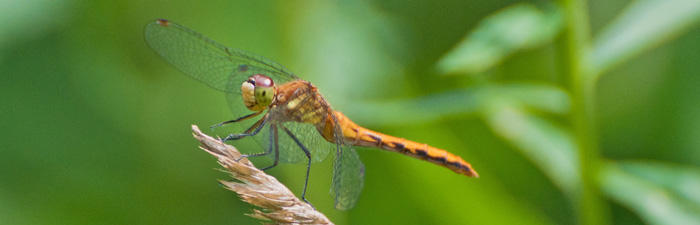Ruby meadowhawk dragonfly © Joy Marzolf, Mass Audubon