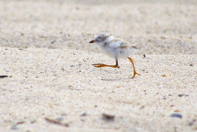 Piping Plover chick Rachel Smiley