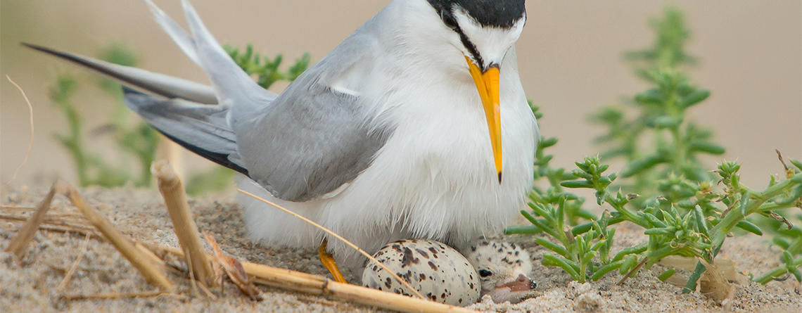 Least Tern on nest with chick © Yunzhong He