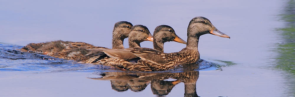 Mallard family swimming in a row © Doug Penderson