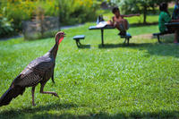 Wild Turkey walking near picnic tables with people