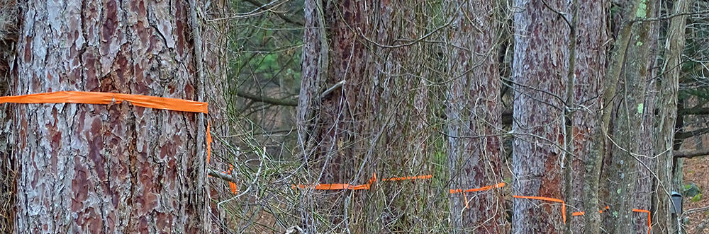 Trees marked for removal for habitat management at Moose Hill