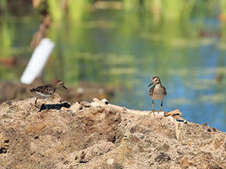Least Sandpipers at Tidmarsh