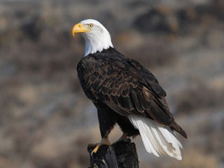 About bald eagles for Mass fish and wildlife