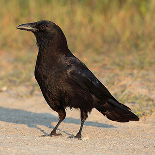 American crow © Mdf, wikicommons