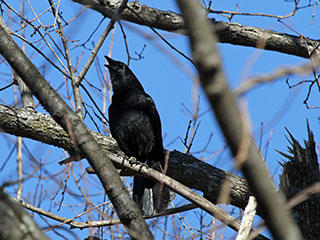American crow © Michele Moore
