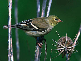 American goldfinch © USFWS